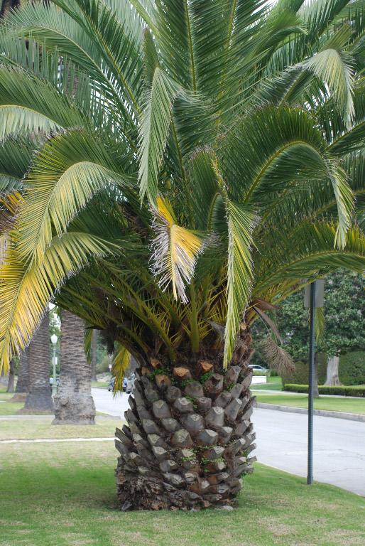 Palm tree, giant pineapple, or humongous pine cone?