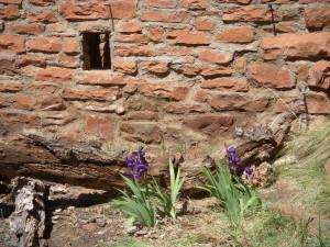 Irises growing alongside an abandoned homestead, West Fork Trail, Oak Creek Canyon