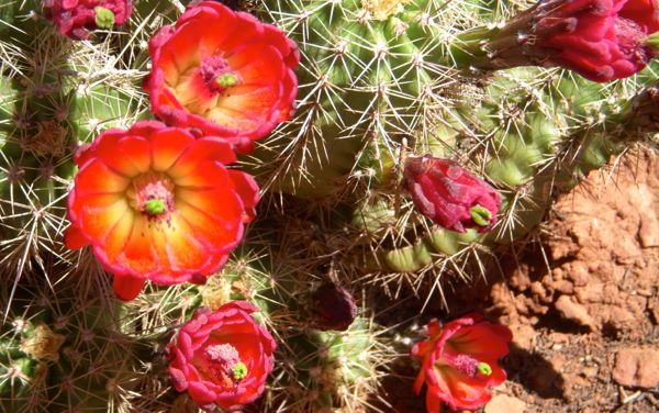 """Echinocereus is a genus of cacti widely distributed across the American Southwest, but this bright scarlet Arizona variety is on the federal list of endangered species. The name Echinocereus is a compound of """"Hedgehog"""" and """"Candle."""""""