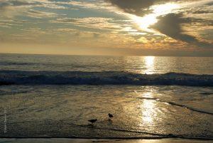 Sunset Plovers watermarked